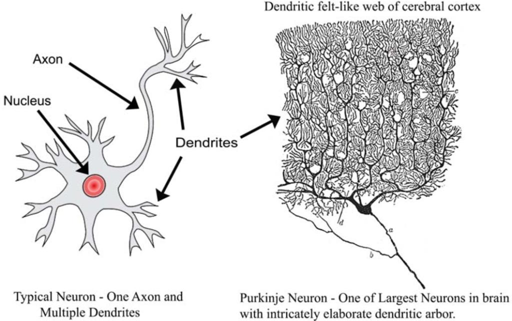 Pribram rete sinaptodendritica